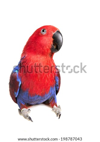 Eclectus Parrot looking forward with mouth partially open isolated on white background - stock photo