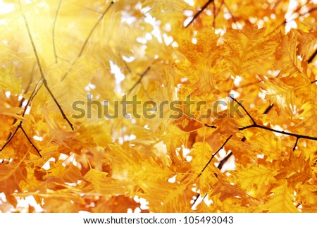 Ecological background - oak leaves and bright sun - stock photo