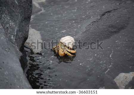 Ecuadorian Hermit Crab - stock photo