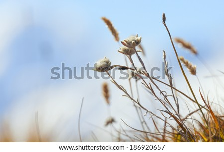 Edelweiss flower on a background of blue sky - stock photo