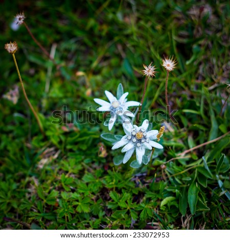 Edelweiss flowers in Julian Alps - stock photo