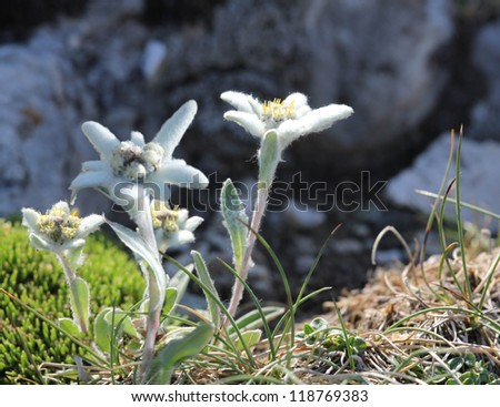 Edelweiss flowers on the top of the mountains - stock photo