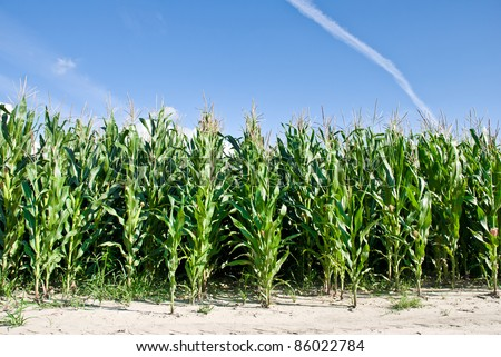 Edge of corn field against bright blue sky and fluffy clouds - stock photo