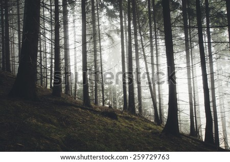 edge of the forest with pine trees - stock photo