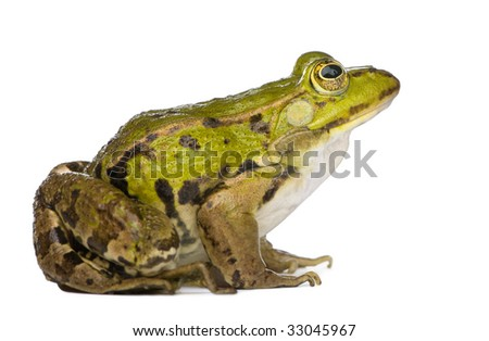 Edible Frog - Rana esculenta in front of a white background - stock photo