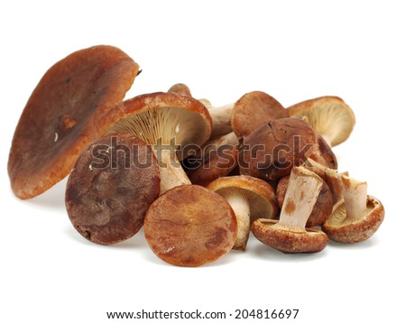Edible mushroom Rufous Milkcap or the Red Hot Milk Cap or Lactarius rufus on a white background - stock photo