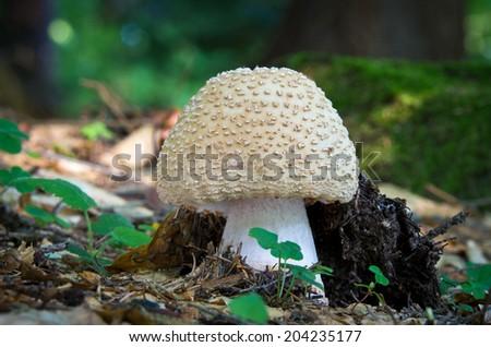 Edible mushrooms with excellent taste, Amanita rubescens - stock photo
