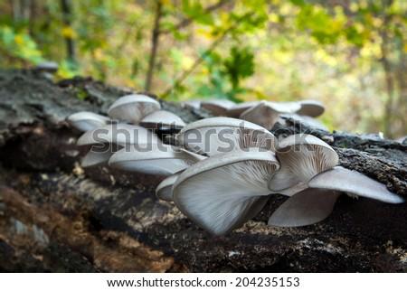 Edible mushrooms with excellent taste, Pleurotus ostreatus - stock photo