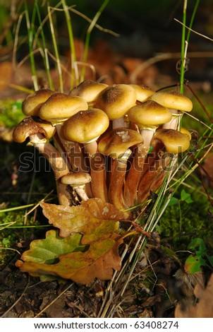 edible natural mushrooms - stock photo