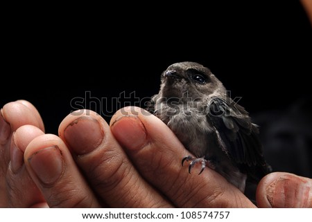 Edible-nest Swiftlets on the hands. - stock photo