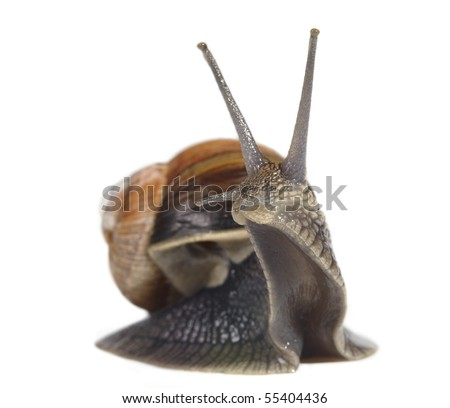 Edible snail isolated on white background - stock photo