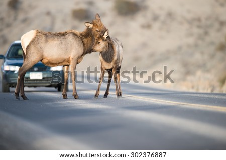 Editorial content; A cow elk and her calf stop in the middle of the road, as a car stops to wait for them to move - stock photo