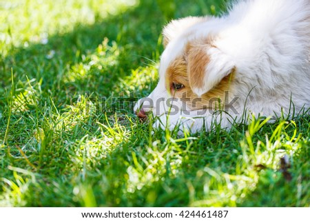 Ee red Border Collie puppy. Young dog outside on the lawn. - stock photo