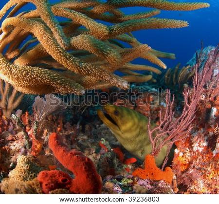 eel hiding in the reef - stock photo