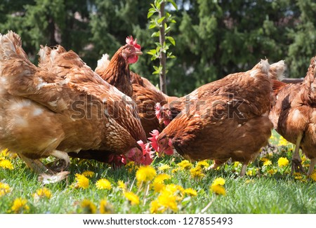 egg-laying hens in the yard - stock photo