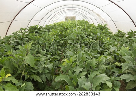 Eggplant Fresh Green Crop in A Glasshouse - stock photo