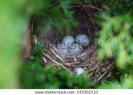 eggs in a nest of a song thrush. Colour of eggs as for Easter - stock photo