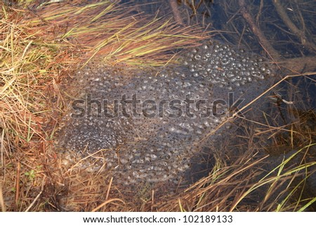 Eggs of frog in water - stock photo