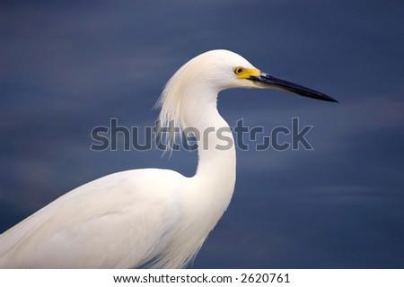 egret - stock photo