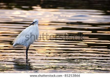 Egret heron standing in golden ripples at sunset - stock photo