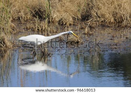 Egret Hunting - stock photo