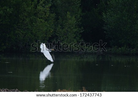 Egret in the mangrove forest. - stock photo