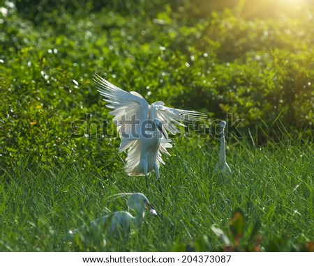 egret play in water land - stock photo