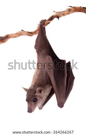 Egyptian fruit bat or rousette, Rousettus aegyptiacus. on white background - stock photo