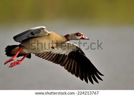 Egyptian goose - stock photo