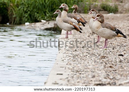 Egyptian Goose This goose is actually related to the shelduck and is an introduced species to the UK. Their conservation status is Least Concern - stock photo