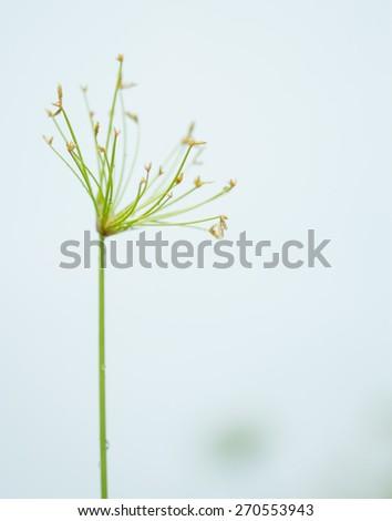 Egyptian papyrus sedge plant on white background. - stock photo