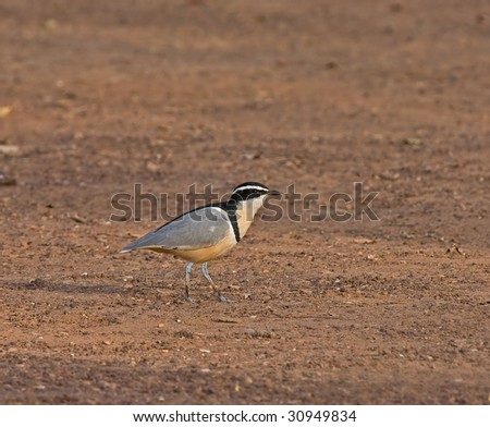 Egyptian Plover at Simenti - stock photo