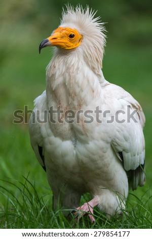Egyptian vulture - stock photo