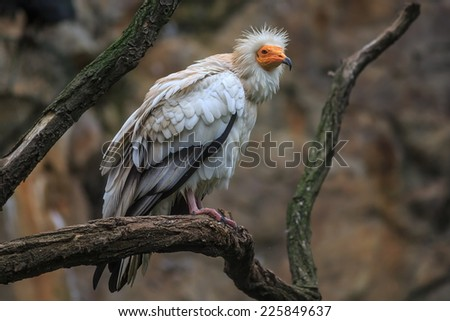 Egyptian vulture on the tree - stock photo