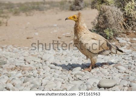 Egyptian Vultures, white scavenger vulture or pharaoh's chicken Socotra Island, Yemen - stock photo