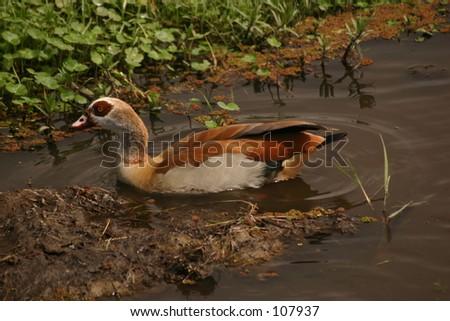 Egyption geese 2,04 - stock photo