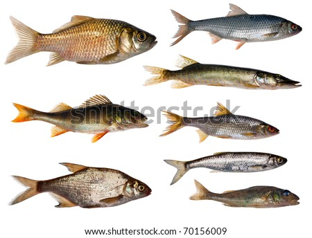 eight freshwater fishes collection isolated on white background - stock photo