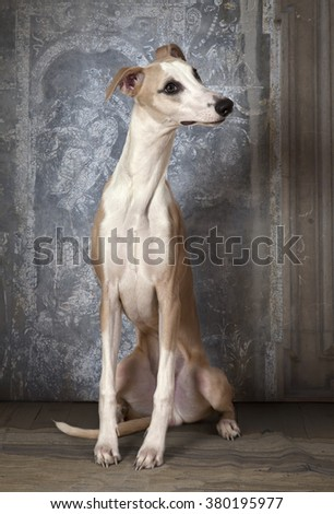 Eight months old purebred Whippet dog indoors - stock photo
