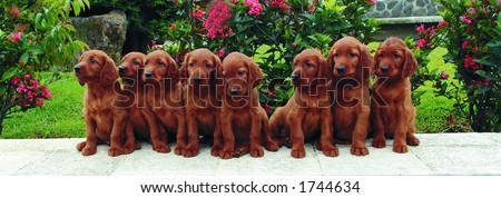 Eight two months old pure breed red irish setter puppies posing in a row - stock photo