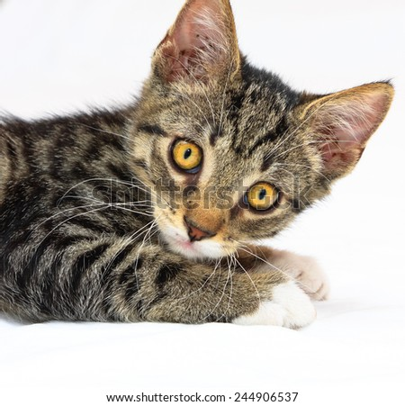 Eight weeks old tiger (tabby) pattern kitten with white paws laying on a bed posing - stock photo