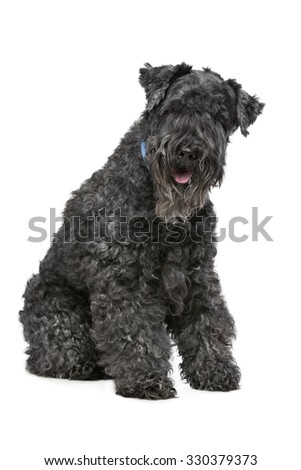 Eight year old Kerry Blue Terrier sitting in front of a white background - stock photo