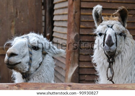 El Chaten Argentina, the llama (Lama glama) is a South American camelid, widely used as a meat and pack animal by Andean cultures since pre-Hispanic times. - stock photo
