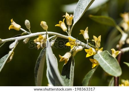 Elaeagnus angustifolia; - stock photo