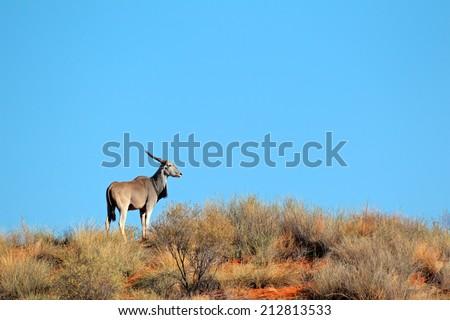 Eland antelope (Tragelaphus oryx) on a sand dune, Kalahari desert, South Africa  - stock photo