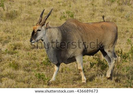 Eland Antelopes - stock photo