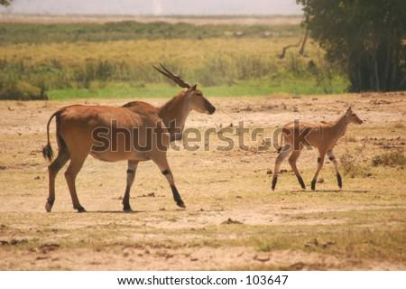 Eland cow & calf 1,04 - stock photo