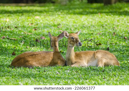 Eld's deers reclining on grass - stock photo
