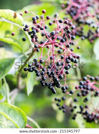Elderberries in the sunshine, Autumn - stock photo
