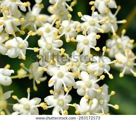 Elderberry blossom macro / Elderberry flowers  - stock photo
