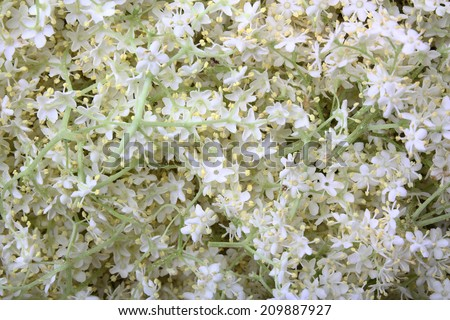 Elderberry flowers as background - stock photo